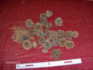 Pine Cones for Arts and Crafts for The Christmas Wreath Season Small to Large