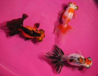 3 Pack 3 4 in Fancy Butterfly Tail Goldfish Live Koi Pond Fish Tank or Aquarium
