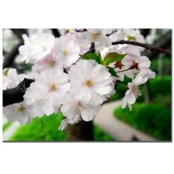 Kurt Shaffer 'Cherry Blossom Path' Canvas Art Trademark Fine Art Canvas